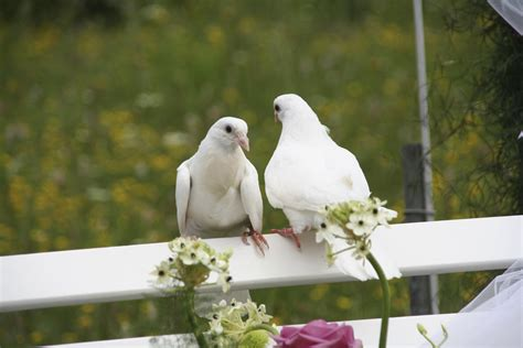 Hochzeit Tauben by Wedding Doves Articles Easy Weddings