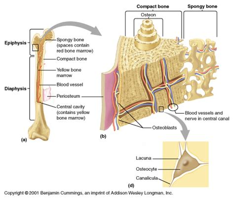 compact bone diagram template