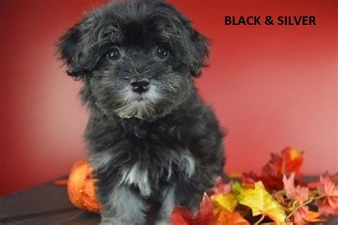 havanese colors havanese colors royal flush havanese