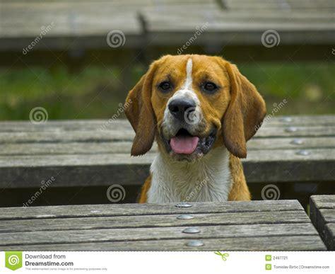 bench beagle dog beagle between benches stock image image 2497721