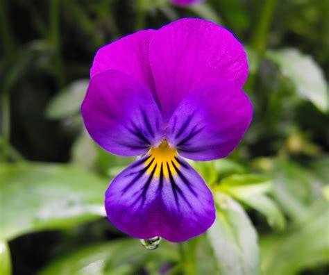 fiori pensiero foto gratis fiore viola pensiero bloom immagine