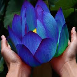 Blue Lotus Anxiety 4 Benefits Of The Blue Lotus Herb