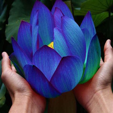 blue lotus flower tea 4 benefits of the blue lotus herb