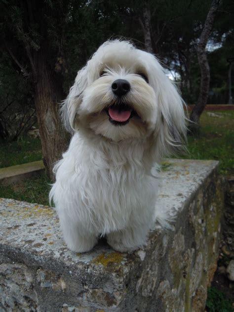 havanese breeders australia best 25 havanese puppies ideas on havanese breeds pictures and