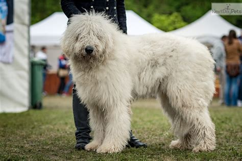 komondor puppies for sale near me komondor puppy for sale near budapest hungary 5b977243 24b1