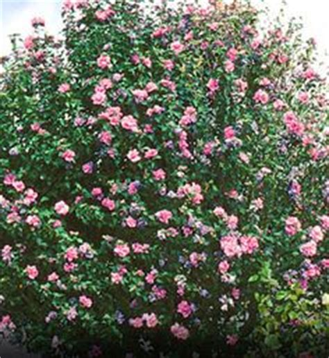 flowering shrubs zone 6 1000 images about flowering shrubs on of