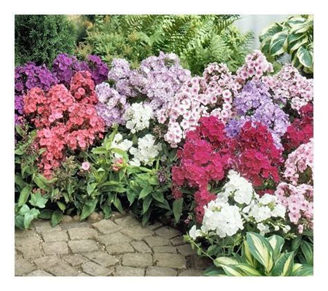 cottage farms 10 piece fragrant tall phlox collection