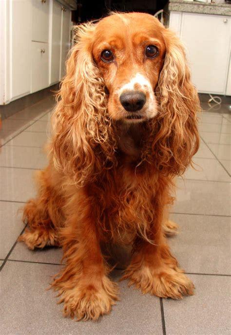 perros de raza cocker imagenes cocker spaniel ingles 01