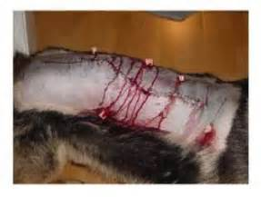 Dog made a full recovery after surgery image from acadiavetclinic com
