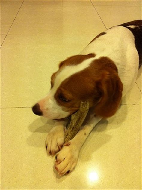 Grateful Shed Antler Chews by Junior1