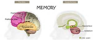 part of brain stores memory pictures to pin on