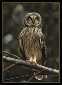 hawaiian owl owls pinterest