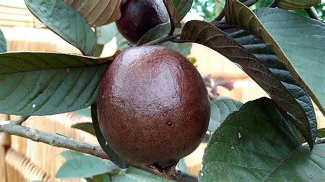 Tanaman Jambu Varigata Australia Berkualitas 1 tanaman jambu biji merah australia jambu jbma samudrabibit