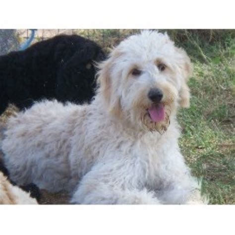 goldendoodle puppies for sale in az arizona doodles goldendoodle breeder in creek arizona