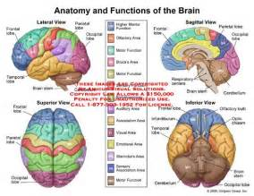 in this diagram it shows the different parts of the brain