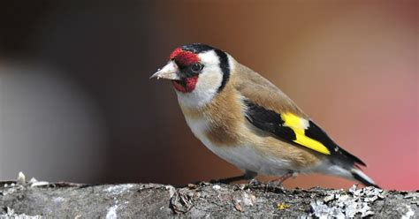 different kinds of finches ehow uk