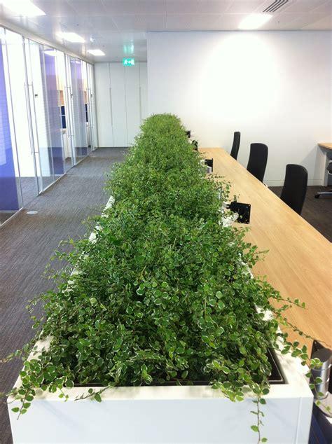 ficus pumila indoor plants ficus pumila plants