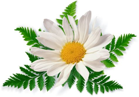 wallpaper flower png camomile png image free picture flower download