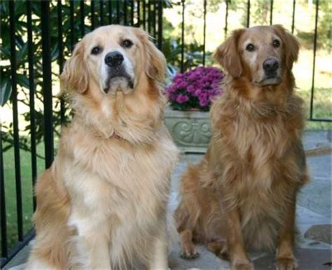do golden retrievers get along with other dogs golden retriever