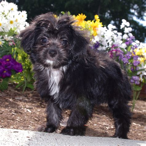 papipoo puppies papipoo papillon poodle mix info temperament care pictures