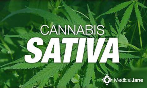cannabis sativa medical marijuana  overview