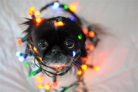 cute dog wrapped  christmas lights pictures