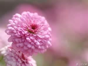 pink dahlia hddahlia flower wallpaper 5 wallcoo net