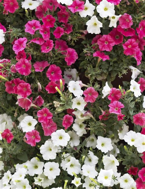 Variety Of Flowers For Garden Different Types Of Petunias Learn About The Varieties Of Petunias