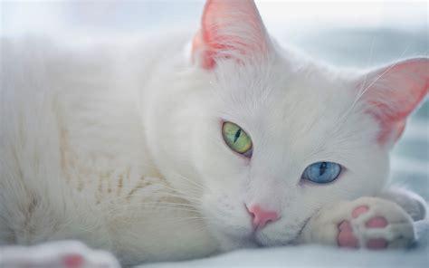 Bibit Eye Cat White white cat green blue wallpaper 1920x1200 14555