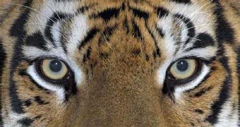 imagenes ojos de tigre curiosidades de los tigres entra y enterate info
