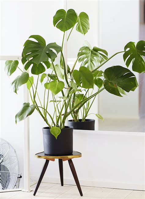 philodendron monstera house decorators collection