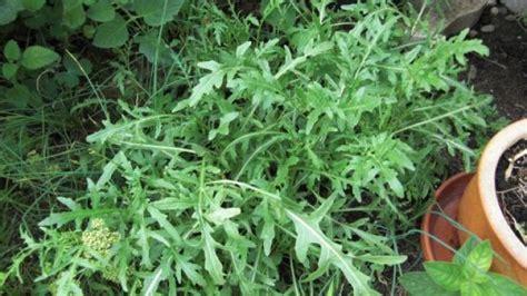 Rucola Garten Pflanzen by Rucola Selber Ziehen Einfach Und Ertragreich Frag Mutti