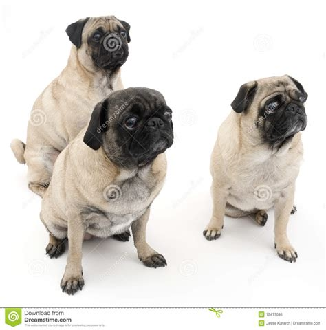 three pugs three pugs isolated royalty free stock image image 12477086