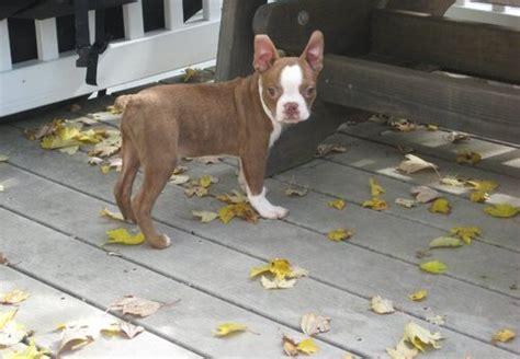 boston terrier puppies ta boston terrier sale singapore boston terrier puppies buy buy boston terrier breeders