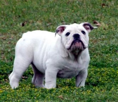 cheap bulldog puppies bulldog puppies cheap breeds picture