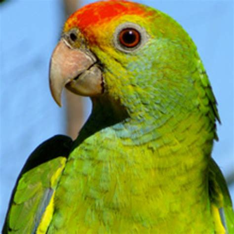 amazon parrot buy parrots and exotic pets parrots of the world pet