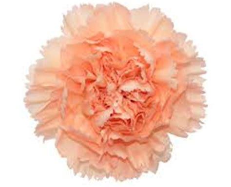 Carnation peach carnations