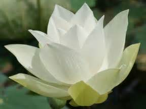 Of The Lotus Lotus Flowers Flower Hd Wallpapers Images Pictures
