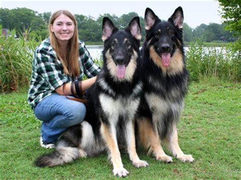 shiloh shepherd puppies international shiloh shepherd club inc issdc breeders breeds picture