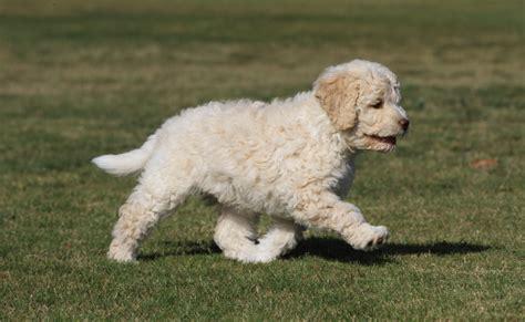 lagotto puppies happy lagotto romagnolo puppies pictures