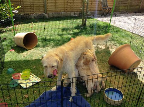 what to feed puppies at 6 weeks labradoodle puppies at 6 weeks wiltshire