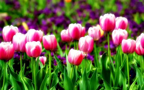 blooming flowers blooming flowers wallpapers beautiful flowers wallpapers