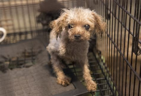 puppy mills in iowa puppy mill cruelty rears its in iowa 183 a humane nation
