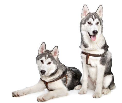best food for huskies best food for huskies don t give your underrated foods jerusalem post
