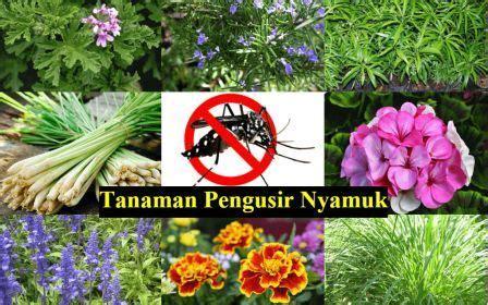 Tanaman Zodia Pengusir Nyamuktanaman Pengusir Nyamuk usir nyamuk dengan 8 tanaman ini k24klik