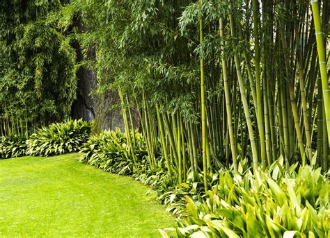 backyard bamboo garden backyard privacy 10 best plants to grow bob vila