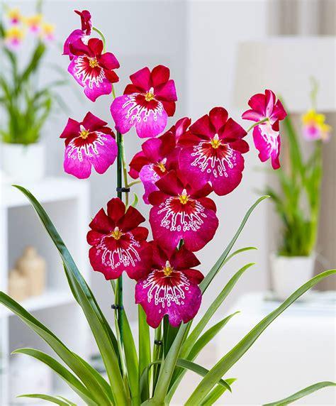 fiore orchidea acquista orchidea miltoniopsis tide bakker
