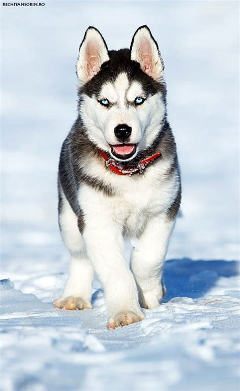 snow husky puppy 995 best images about huskies on beautiful dogs baby huskies and