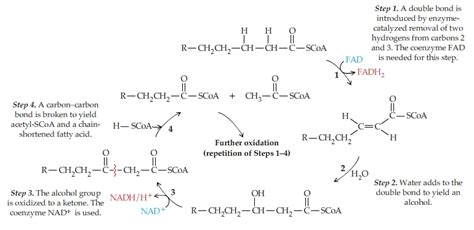 carbohydrates yield how much energy solved fatty acids yield more than as much energy p