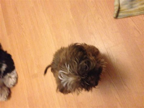imperial yorkies shih tzu 3 month quotes